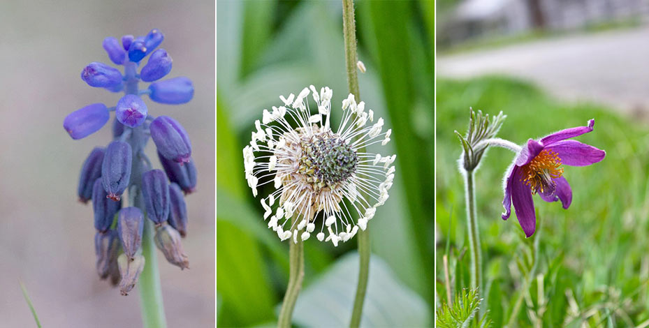 Muscari, Plantain and Pasque Flower